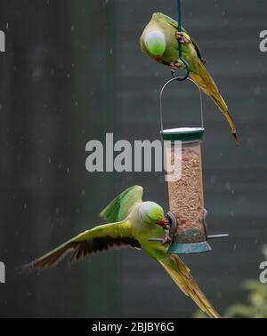 Ring Necked Parakeets feed in a rain shower on a hanging garden bird feeder, London, UK - Stock Photo