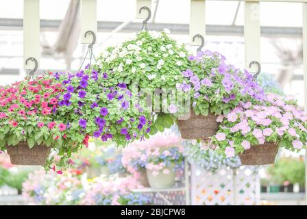 Colorful petunia flowers, Grandiflora is the most popular variety of petunia, with large single or double flowers that form mounds of colorful solid, - Stock Photo