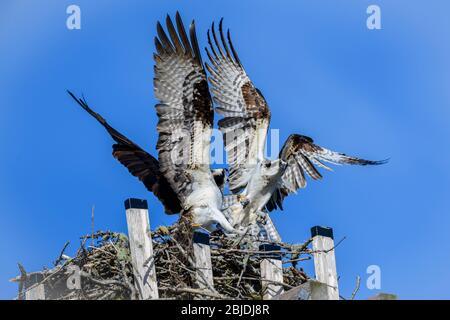 Osprey (Pandion haliaetus) defending nest from intruder, Petite Riviere, Nova Scotia, Canada, - Stock Photo