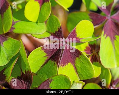 Lucky clover leaves, oxalis tetraphylla - Stock Photo