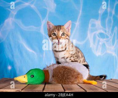bengal kitten water blue background with wooden floor brown spotted tabby