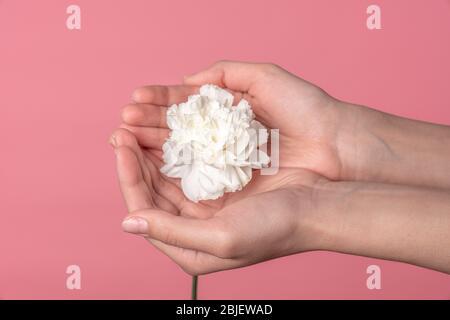 Female palms holding white carnation flowers, close up photo - Stock Photo