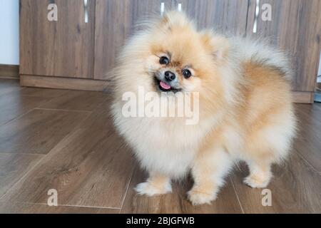 Portrait of a little fluffy Pomeranian puppy. Smiling pomeranian dog. - Stock Photo