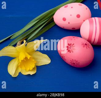 yellow blooming daffodil and easter pink eggs on blue wooden background, holiday backdrop. - Stock Photo
