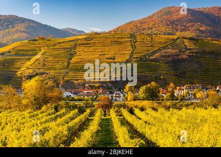 autumn vineyard in Wachau region, Austria.