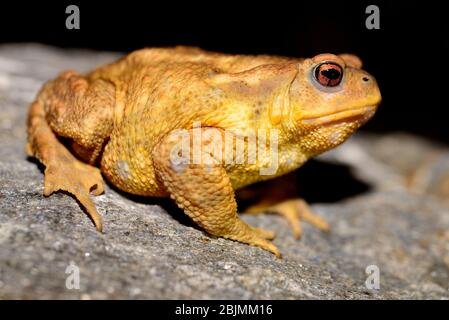 Common toad (Bufo spinosus) in Bustarviejo, Madrid, Spain - Stock Photo