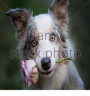 Charming red-haired dog with eyes closed sitting on the floor and holds a red rose in his mouth as a gift for Valentine's Day on a drak background. - Stock Photo