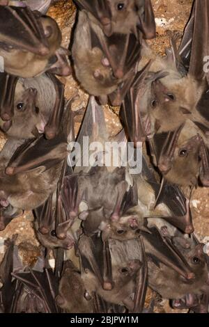 Egyptian rousette bat hanging from a cave ceiling. The Egyptian rousette, or Egyptian fruit bat, (Rousettus aegyptiacus) is a widespread African fruit - Stock Photo