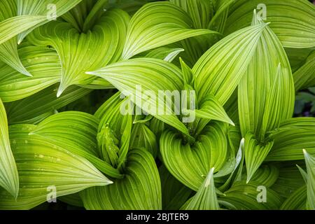 Top down view of the wavy green leaves of veratrum viride, a North American false hellebore, taken in the Cranberry Glades WMA of West Virginia. - Stock Photo