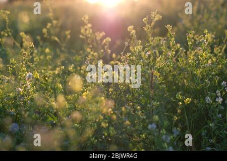 Wildflowers on the field in the evening light, bokeh, calm weather, peacefull colors, Belarus, summer day