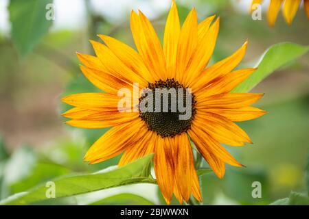 Close up of Sunflower blossom in full yellow bloom  - Stock Photo