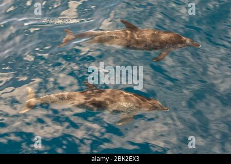 Atlantic Spotted Dolphins in Ocean near Tazacorte on west coast of La Palma, Canary Islands - Stock Photo