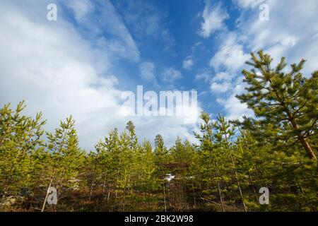 Young pine trees growing in the forest ( Pinus Sylvestris ) , Finland - Stock Photo