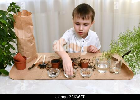 The child is busy planting micro greens seeds in small pots. The the boy takes the beets from a transparent cup.