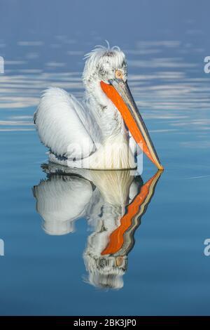 A Dalmatian Pelican (Pelecanus crispus) in full breeding plumage on Lake Kerkini, Greece - Stock Photo