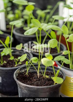 False Queen Anne's lace (Ammi majus) seedlings Stock Photo