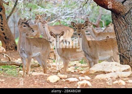 Persian Fallow Deer - Stock Photo