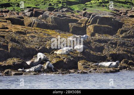 Grey Seal, 'Halichoerus grypus', Colony, Warming in the Sun, Isle of May, Scotland - Stock Photo