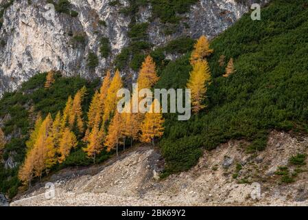 Beautiful mountain landscape of the picturesque Dolomites with yellow pine trees in autumn. Passo Gardena area in South Tyrol in Italy. - Stock Photo