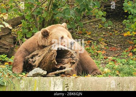 A brown bear is sleeping on log in the Bern bear pit - Stock Photo