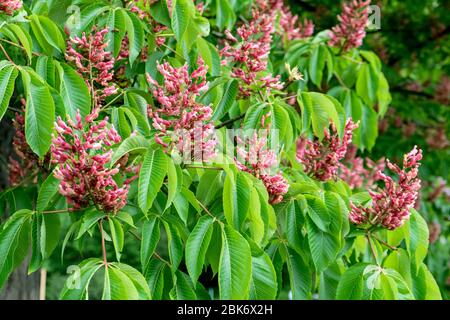 Detail of a red flowering horse chestnut, Aesculus pavia - Stock Photo