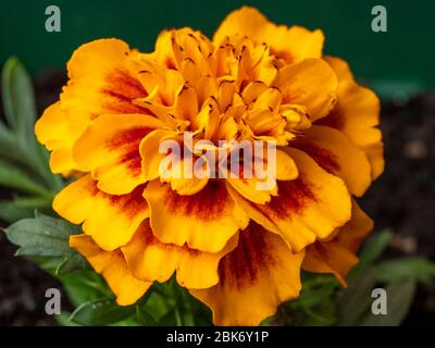 Closeup of a bright orange and yellow French marigold flower, Tagetes patula