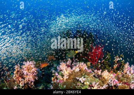 Huge schools of Glassfish swarming around a beautiful, colorful collection of hard and soft corals on a tropical reef