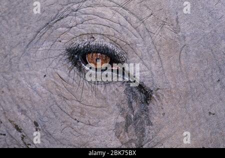 Indian Elephant close up of eye Basndavgarh India