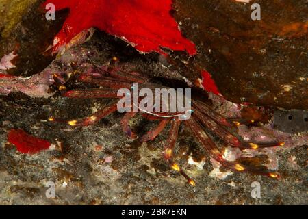 Klippenkrabbe / (Grapsus adscensionis) - Stock Photo