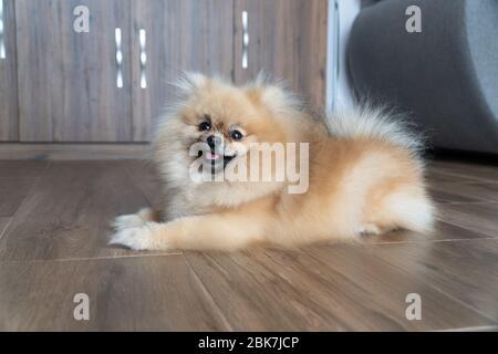 Pomeranian spitz puppy lies on the floor. Smiling pomeranian dog. Little fluffy Pomeranian puppy. - Stock Photo