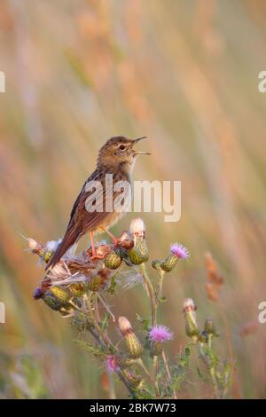 A male Grasshopper Warbler (Locustella naevia) singing in the breeding season in Suffolk, UK - Stock Photo