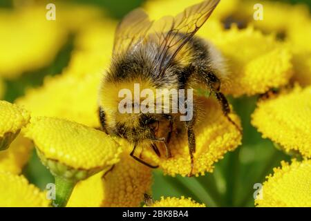 A bumblebee collects food on a yellow plant. Macro shot
