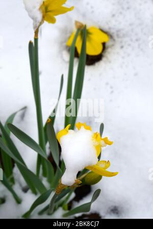 An early spring snowfall bends down the flowering daffodils in Santa Fe, New Mexico USA. - Stock Photo