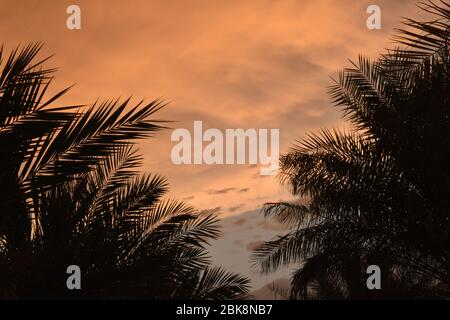 Fresh green palm tree leaves border on red cloudy sky background, sunny day, beautiful natural wallpaper, summer holidays concept.
