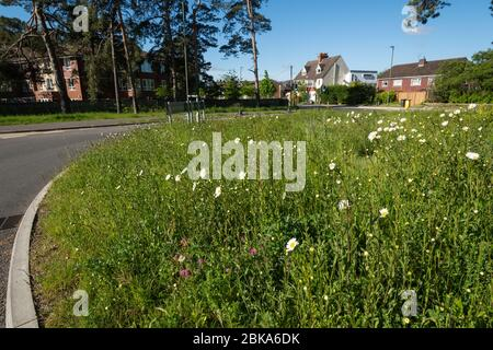 Wildflowers including oxeye daisies growing on a roundabout in Surrey, England, UK