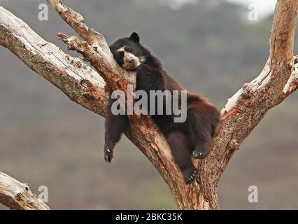 Spectacled Bear (Tremarctos ornatus) adult asleep in tree at rehabilitation centre  Chaparri, Peru                      February - Stock Photo