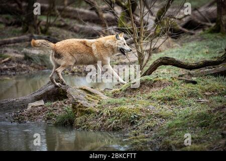 Timberwolf running in the forest