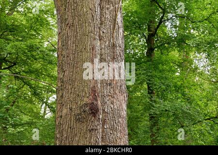 The trunk of a beautiful old linden tree in the spring forest. (Tilia platyphyllos) - Stock Photo