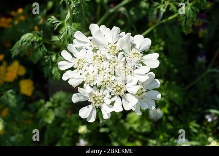 White lace flower (Orlaya grandiflora), Setagaya-Ku, Tokyo, Japan - Stock Photo