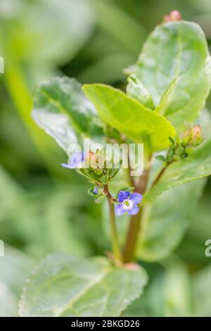 Dainty blue flower of Brooklime / Veronica beccabunga growing in drainage ditch. A foraged & survival food containing Vitamin C. Once used in cures - Stock Photo