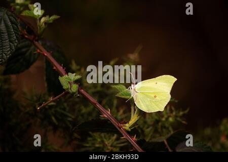 Stunning image of a brimstone butterfly (Gonepteryx rhamni) in the sunlit against a dark gorse dell, UK