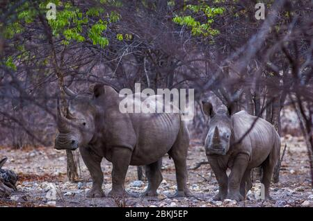 Namibia, Kunene region, Tsumeb, Etosha National Park, White rhinoceros, Ceratotherium simum, mother and son - Stock Photo