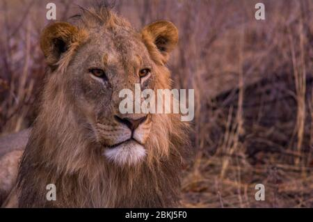 Namibia, Kunene region, Tsumeb, Etosha National Park, desert lion, Panthera leo - Stock Photo