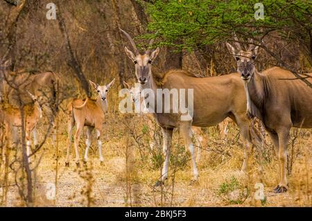 Namibia, Kunene region, Tsumeb, Etosha National Park, Cape Elands, Taurotragus oryx, in the veld, or bush, of a private reserve - Stock Photo
