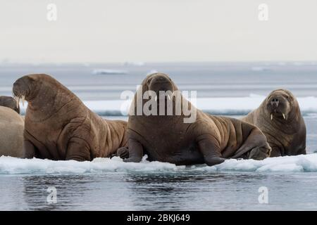 Atlantic walruses (Odobenus rosmarus), Vibebukta, Austfonna, Nordaustlandet, Svalbard Islands, Norway - Stock Photo
