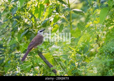 Yellow-vented Bulbul - Pycnonotus goiavier, shy hidden perching bird from Southeast Asian forests and woodlands, Pangkor island, Malaysia. - Stock Photo