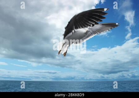 Seagull Lesser Black-backed Larus fuscus swooping in sky over White Sea. Sea gull concept - Stock Photo
