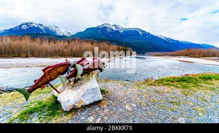 Sockeye Salmon display along the Squamish River in Brackendale Eagles Provincial Park a famous Eagle watching spot in British Columbia, Canada