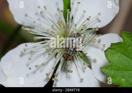 Tachinid Fly, Prosenoides sp., foraging on blackberry, Rubus sp., blossom - Stock Photo