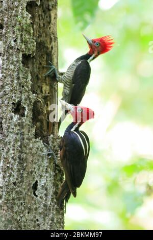 Pale-billed Woodpeckers (Campephilus guatemalensis) searching for grubs in dead tree trunk. Lowland rainforest, Corcovado National Park, Osa Peninsula - Stock Photo